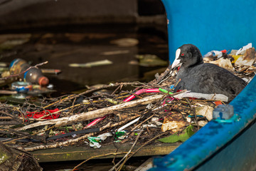 A Eurasian Coot sits on a nest built from human litter, including plastic straws, inside a half-sunk boat in an Amsterdam canal.