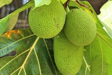 Breadfruit tree in tropical