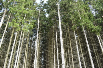Closeup of many pine trees – can be used as a background