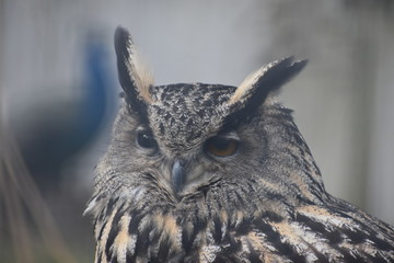Portrait of a brown owl in a park in Germany