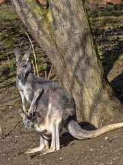 Female Red kangaroo, Megaleia rufa, with her baby in her bag