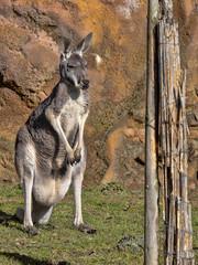 Standing Large Female Red Kangaroo, Megaleia rufa