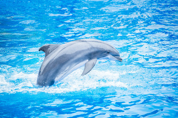 Side view of a beautiful bottlenose dolphin jumping out of the water. Beautiful ocean animal in an idyllic setting