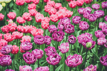 Field of purple and pink double tulips (also known as the peony flowered tulips)