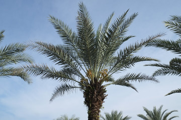 Date-palm tree above bright clear blue sky at malaysia