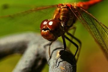 Libelle in kräftiger Farbe