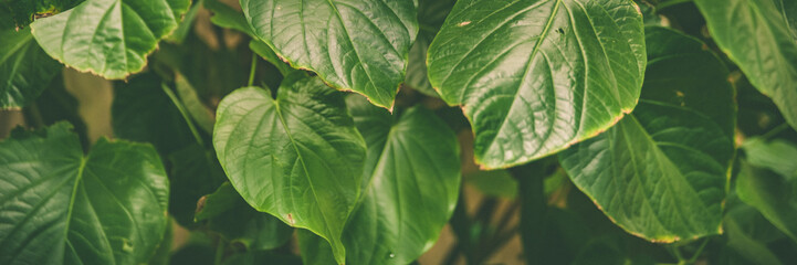 Banner Green leaves of tropical  plants,  green jungle summer background  in  vintage tone