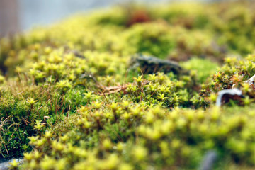 Green, yellow moss with flowers on the foundation, stone. Mocha texture