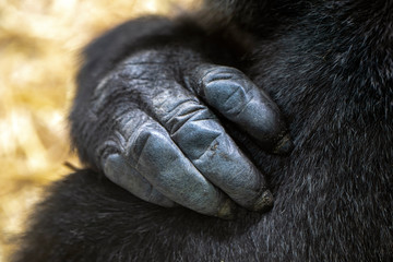 cropped view of black hand of gorilla