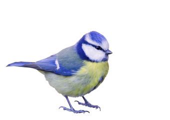 Papiers peints Oiseau Blaumeise komplett vor weißen Hintergrund freigestellt