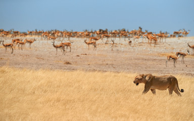 Lioness, Panthera leo, walking in dry savanna against herds of springbok antelopes of Etosha national park. Typical african animals scene. Lioness in hot day. Wildlife photography in Namibia.