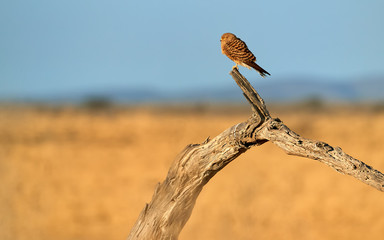 Greater Kestrel, Falco rupicoloides, african  bird of prey belonging to the falcon family. White-eyed kestrel perched on old tree against blurred dry savanna and blue sky. Etosha wildlife, Namibia.