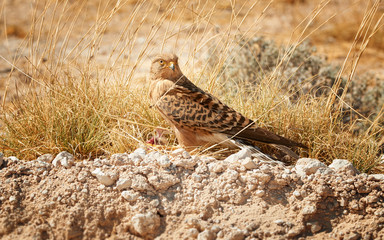 Close up Greater Kestrel, Falco rupicoloides, african  bird of prey feeding on a small bird. White-eyed kestrel on the ground with its prey.   Etosha wildlife photography, Namibia.