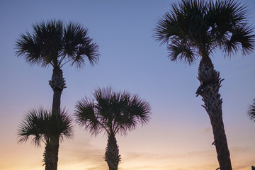 Palm tree silhouettes right after sunset on a Gulf coast beach in Manasota Key Florida.