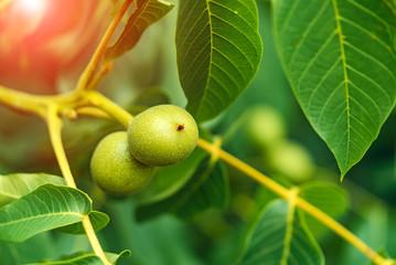Green fruit of the walnut on the branch. Walnut tree.