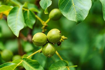 Green walnut on tree