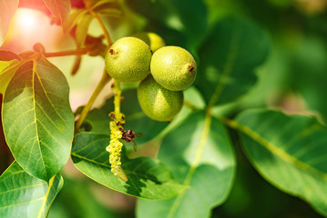On a branch of a tree with leaves grows green walnuts