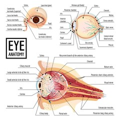 Eyeball infographic. Cartoon of eyeball vector infographic for web design