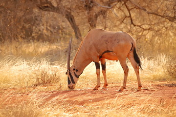 East African oryx in Kenya