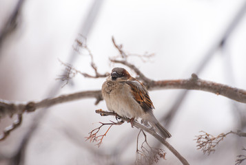 Sparrow on a branch of a bush close up macro