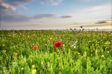 Idyllic landscape, wild flowers meadow in West Pentire,Cornwall