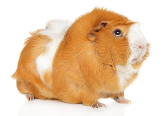 Wall Mural - Guinea pig on white background