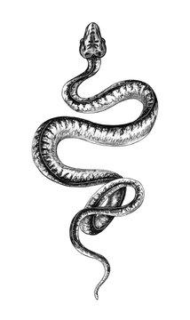 Hand Drawn Monochrome Creeping Python