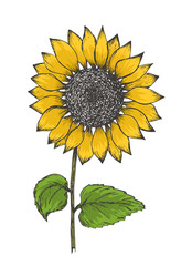 Retro black outline ink pen sketch of colorful yellow sunflower. Hand drawn color illustration of sun flower isolated on white background for botanical pattern design, greeting card decoration