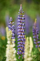 Colorful blue Lupin