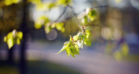 Spring branches of a linden with green leaves.