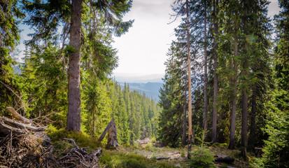 Wall Mural - Spring forest panorama of Ukrainian Carpathians. Wonderful natural background.