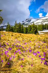 Wall Mural - Spring mountains panorama with crocus flowers and snowy peaks of Ukrainian Carpathians.