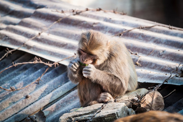 Baby monkey sitting at Swayambhunath temple with barbed wires and building in the background. Kathmandu. Nepal