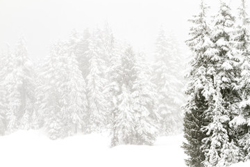 Snow covered trees in a coniferous mountain forest; forest surrounded and enveloped in a cloud or fog