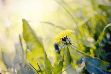 Yellow flowers of a dandelion