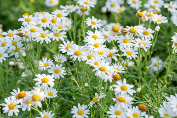 white daisy flower garden