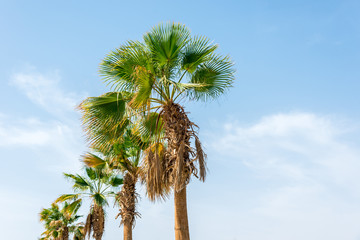 a lot of big green African palm tree against the blue sky