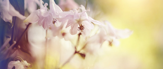 Blurred background with flowers of an aquilegia