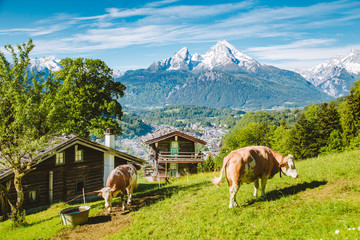 Wall Mural - Idyllic alpine scenery with mountain chalets and cow grazing on green meadows in springtime