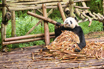 Aluminium Prints Panda Cute panda bear sitting in pile of bamboo shoots