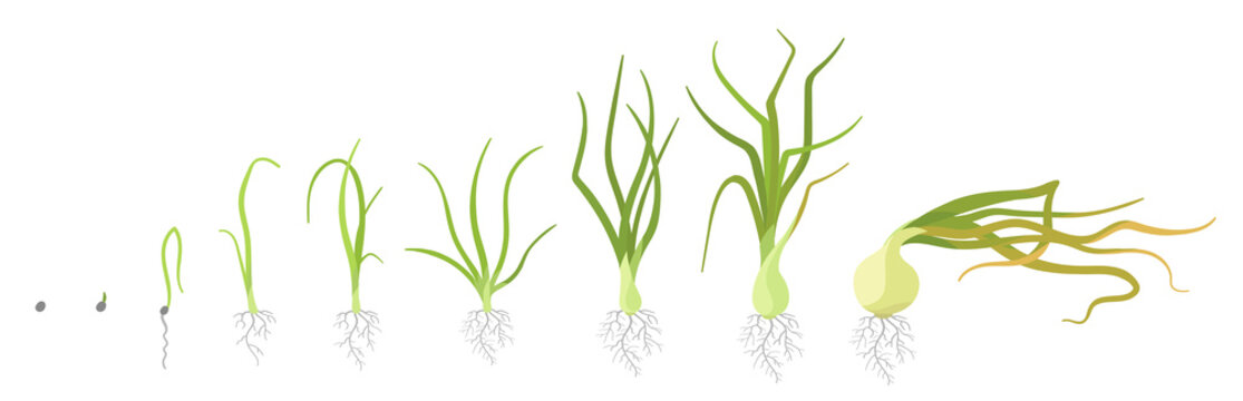 Crop stages of onion. Growing onion plants. Bulbs life cycle. Harvest growth biology. Allium vector flat Illustration.