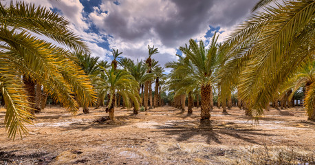 Abandoned palm plantation, Middle East agriculture