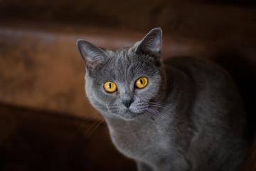 piękny szary kot o miodowo-bursztynowych oczach w rozmytym tle