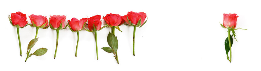 rrow of red roses, one stands alone, isolated on a white background, copy space, panoramic format, high angle view from above