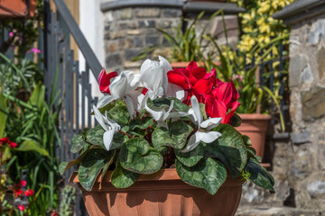 Cyclamen Flowers on a Sunny Spring Day