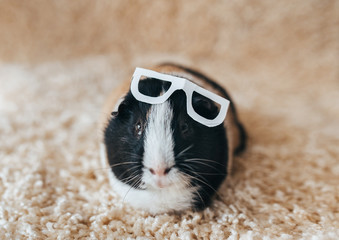 Guinea pig with glasses. Businessman and deputy. Portrait of a cute pet on a woolen and background. Copy space. Fun, fat and funny pig. Beautiful picture. Blind animal