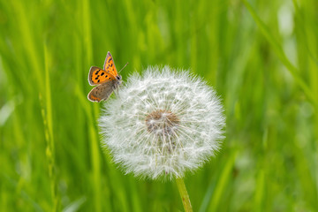Fototapeta Small Butterfly and dandelion on green background.