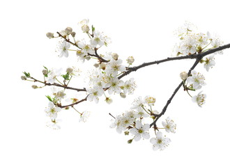 Blooming plum tree flowers isolated on white background