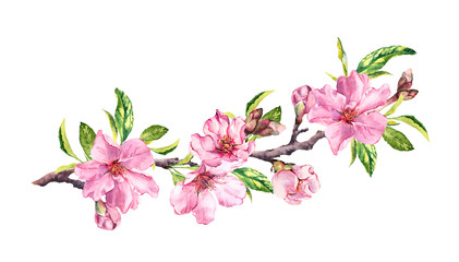 Cherry blossom, sakura flowers in spring time. Water color twig