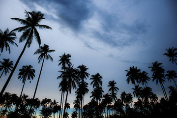 Coconut tree at sky with sunset.